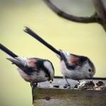 Mésanges à longue queue (Aegithalos caudatus) à la mangeoire