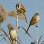 Mésange à moustaches (Panurus biarmicus): le mâle chante, les femelles écoutent