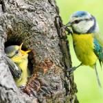 Mésange bleue (Cyanistes caeruleus) et son petit à l'entrée du nid