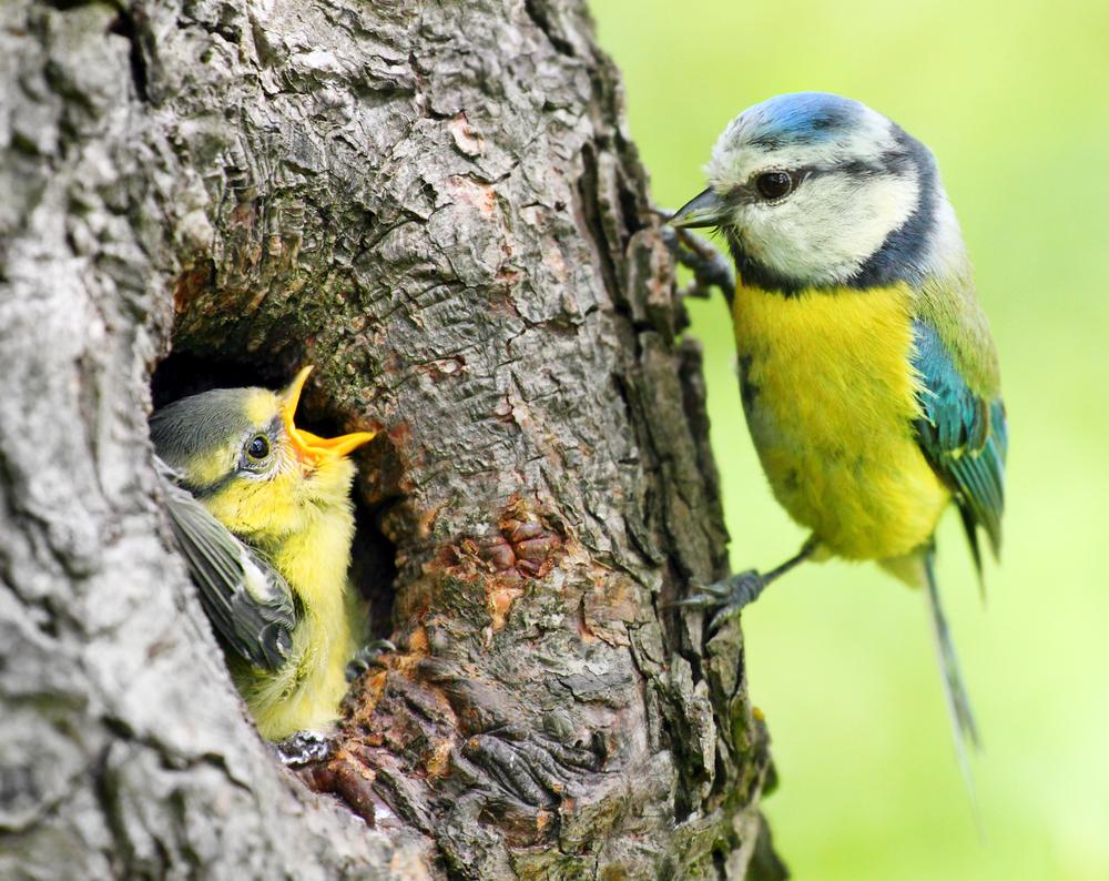 M sange bleue cyanistes caeruleus parid s m sange for Oiseaux des jardins en hiver