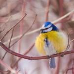 Mésange bleue (Cyanistes caeruleus) en hiver
