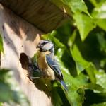 Mésange bleue (Cyanistes caeruleus) à l'entrée de son nichoir