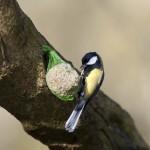 Mésange charbonnière (Parus major) picorant une boule de graisse et de graines