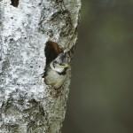 Jeune Mésange huppée (Lophophanes cristatus) à l'entrée du nid