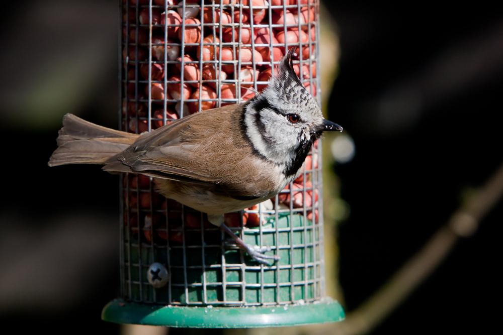 Mangeoire pour m sanges du jardin aidez vos m sanges l 39 hiver les m sanges - Comment nourrir un oisillon ...