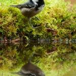 Mésange noire (Periparus ater) au bord de l'eau