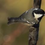 Mésange noire (Periparus ater) perchée sur une branche