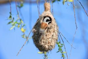 Mésange rémiz (Remiz pendulinus) mâle à l'entrée de son nid