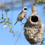 Mésange rémiz (Remiz pendulinus) mâle sur son nid