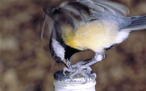 Mésange charbonnière perçant une bouteille de lait