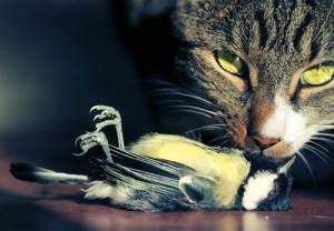 Mésange charbonnière-chat