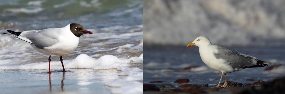 http://oiseau-mesange.fr/wp-content/uploads/2015/03/Mouette-rieuse-et-Go%C3%A9land-argent%C3%A9.jpg